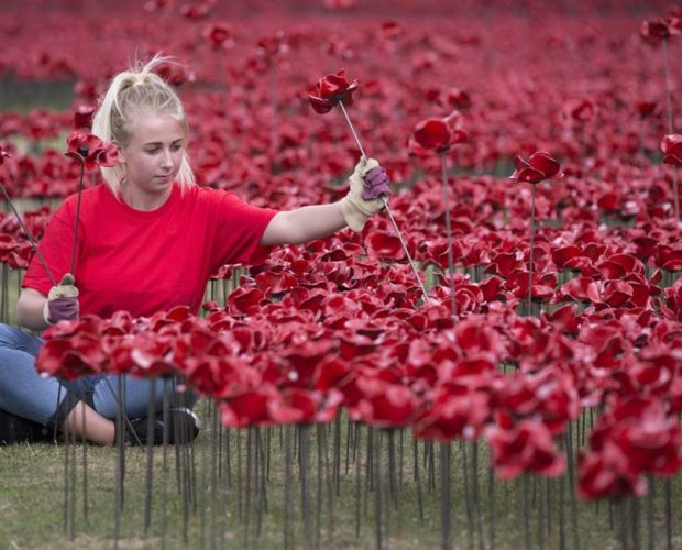 Poppies being installed
