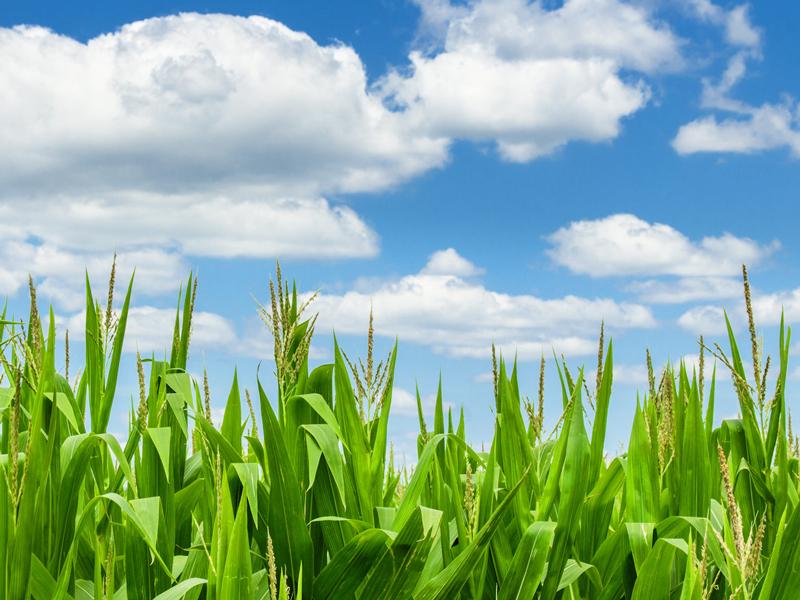 Clouds and Corn Art Photograph by Bob Walma